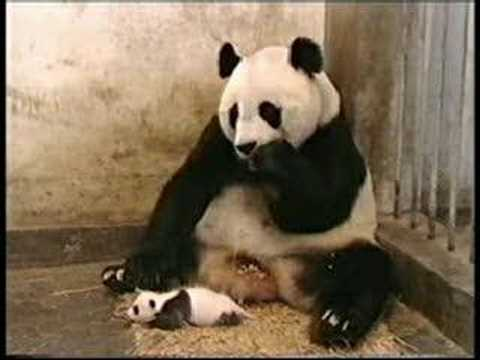 Funny Sneezing Panda Video