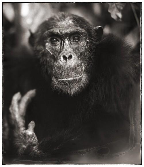 Nick-brandt-Chimp-Portrait-With-Hand-II