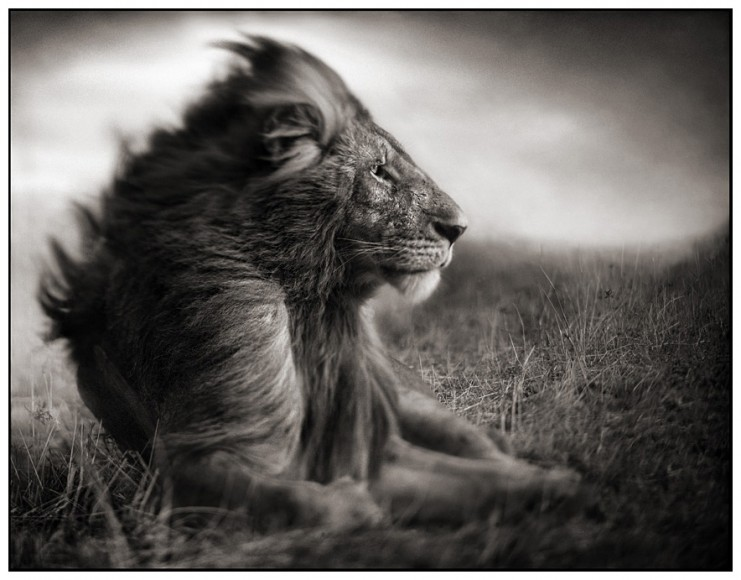 Nick-brandt-Lion-Before-Storm-II-Sitting-Profile