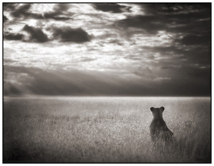 Nick-brandt-Lioness-Looking-Out-Over-Plains