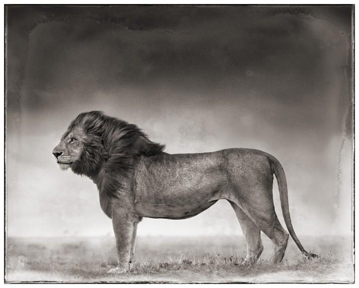 Nick-brandt-Portrait-of-Lion-Standing-in-Wind
