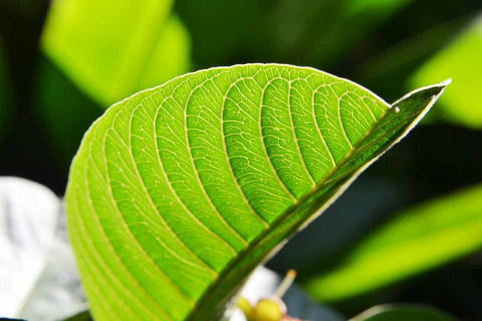 guava-leaf-204980_960_720