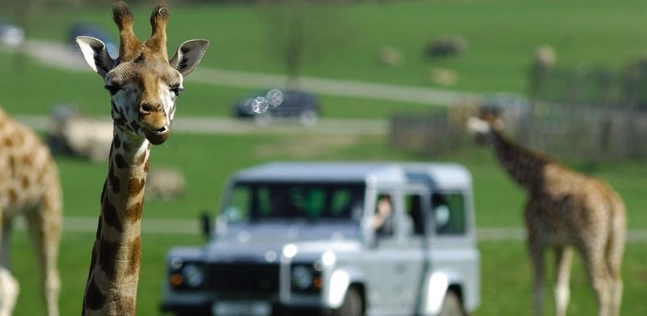 Giraffes-at-Woburn-Safari-Park_2-1
